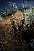 Oryctérope creusant vers une Termitière Afrique du Sud ; oryctérope en train de déblayer la terre d'une profonde galerie qu'il creuse pour atteindre une colonie de termites (Hodotermes Mossambicus), 2 m plus bas. L'énergie colossale déployée dans cette entreprise semble compensée par l'apport alimentaire, puisqu'un oryctérope peut y rester 2 heures, une fois le but atteint, recreusant de temps à autre quelques instants. Il peut aussi y revenir les jours suivants (pas systématiquement). Ce type galeries (profondes, sans chambre pour faire demi-tour) peuvent être utilisées comme base pour creuser un nouveau terrier de refuge ou d'habitation.