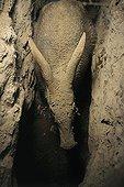 Oryctérope mangeant dans une Termitière Afrique du Sud ; Après avoir atteint une colonie de termites (hodotermes mossambicus) à 2 m de profondeur et s'être nourri un moment, cet oryctérope creuse à nouveau et déblaye la terre à reculon. Les morsures des soldats le laissent indifférent. L'énergie colossale déployée dans cette entreprise semble compensée par l'apport alimentaire, puisqu'un oryctérope peut y rester 2 heures, une fois le but atteint, recreusant de temps à autre quelques instants. Il peut aussi y revenir les jours suivants (pas systématique). Ce type galeries (profondes, sans chambre pour faire demi-tour) peuvent être utilisées comme base pour creuser un nouveau terrier de refuge ou d'habitation.