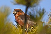 Male Parrot crossbill on a branch Melby Overdrev