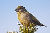 Female Parrot crossbill on a branch Melby Overdrev