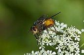 Tachinaire sur une fleur Alsterbro Suède