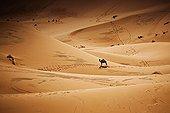 Dromadaire dans des dunes de sable Merzouga  Sud Maroc