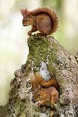 Eurasian red Squirrel - France