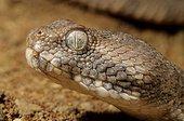 Portrait of Sand Viper in sand Erg Chigaga Morocco