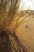 Sand Viper in sand Erg Chigaga Morocco