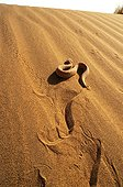 Sand Viper on sand dune Erg Chigaga Morocco