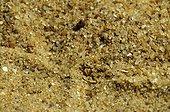 Eye of Sand Viper in sand Erg Chigaga Sahara Morocco