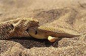 Sand Viper eating a Sand fish Erg Chigaga Morocco