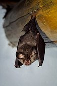 Greater Horseshoe Bat - Portugal ; Greater horseshoe bat, Rhinolophus ferrumequinum, on loft ceiling. Portugal