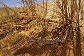 Desert monitor in the shade on a dune Mauritania Chinguetti