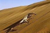 Desert monitor walking on a dune Mauritania Chinguetti