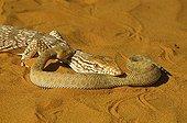 Desert Monitor eating a Sand Viper Mauritania
