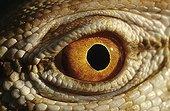 Eye of Desert Monitor Chinguetti Mauritania