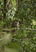 Barred Owl (Strix varia) on a branch, Florida, USA
