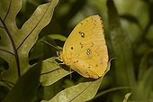 Orange-barred Sulphur (Phoebis philea) Florida, USA