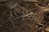 Brown anole (Anolis sagrei) an invasive lizard to North America competing with native lizards, Florida
