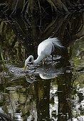 Great Egret (Ardea alba) fishing, Corkscrew Swamp, Florida