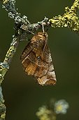 Early Thorn (Selenia dentaria) One of the rare examples of a moth that holds its wings flat over its back like a butterfly, England