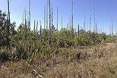 Punktrees (Melaleuca quinquenervia) dead remains from program to remove this non-native invasive species, Estero Bay Preserve, Florida, USA.