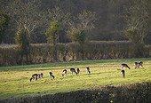 Fallow Deer (Dama dama) grazing, Sussex, England, UK