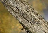 Fishing or Raft Spider (Dolomedes sp. - probably vittatus), Florida, USA