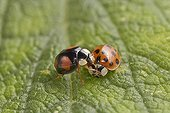 Harlequin ladybirds (Harmonia axyridis) two colour forms, England, UK