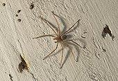 Spider - United States of America ; Huntman spider (Sparassidae (formerly Heteropodidae), Florida, USA