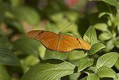 Julia heliconian butterfly (Dryas julia), Heliconidae, Floride, USA