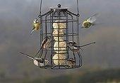 Long-tailed Tit (Aegithalos caudatus) and Blue Tit (Parus caeruleus) at bird feeder, West Sussex, UK