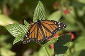 Monarch Butterfly (Danaus plexippus), Florida , USA
