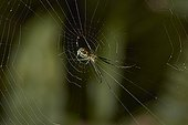 Orchard Spider (Leucauge venusta), Tetragnathidae, Florida, USA