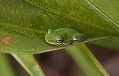 Squirrel tree frog (Hyla squirella), Florida, USA