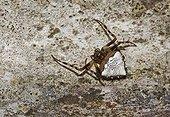 Triangle orb weaver spider (Verrucosa arenata), Florida, USA