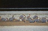 White Peleicans (Pelecanus erythrorhynchos) Florida