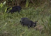 Feral pigs, Wild boar (Sus scrofa) Six Mile Cypress Slough Preserve, Florida
