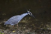 Yellow-crowned Night Heron (Nyctanassa violacea), Florida