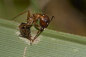 Ant infected by fungus - the fungus takes over the brain of the ant and changes the ant's behaviour 'instructing' it to grip onto the plant etc Florida