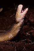 Portrait of Red Worm Lizard French Guiana