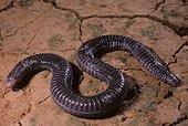 Turkish worm lizard Turkey