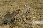 Indian Cobra against a gray Indian mongoose India