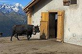 Cow - Switzerland ; Herens cow entering a stable. Valais, Wallis, Switzerland, Europe