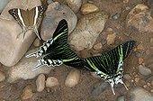 Urania - Peru ; Green-banded Urania moths (Urania leilus) feeding on mineral-rich water. Naturschutzgebiet Tambopata, Madre de Dios, Peru, South America