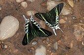 Urania - Peru ; Green-banded Urania moths (Urania leilus) feeding on mineral-rich water. Naturschutzgebiet Tambopata, Region Madre de Dios, Peru, South America