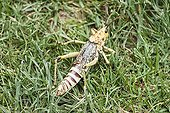 Grasshopper  ; Phymateus Grasshopper (Phymateus morbillosus) in the grass.