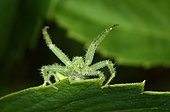 Crab spider in defensive posture on a sheet France