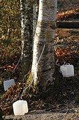 Birch sap harvest Vosges France ; Forest Garden Berchigranges