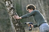 Preparation to harvest sap Birch Vosges France  ; Forest Garden Berchigranges