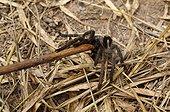 Chasse aux araignées dans la région de Skun Cambodge