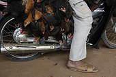 Transport chickens motorbike Pursat Cambodia