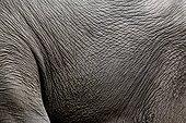 Peau d'Eléphant d'Asie Cambodge